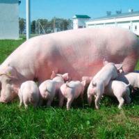29084 Особенности размножения свиней