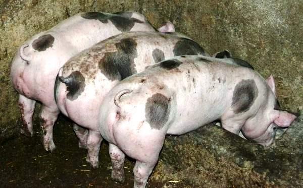 Почему выгодно выращивать мясные породы свиней фото - 18629