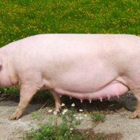 29096 Популярные породы свиней: Ландрас