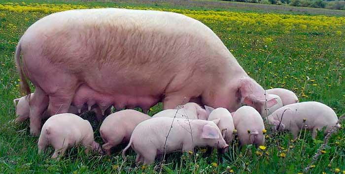 Популярные породы свиней: Ландрас