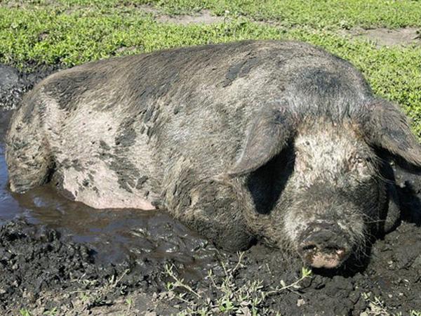Племенное свиноводство: основные способы и виды
