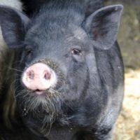 Вьетнамские вислобрюхие свинки фото - 18810 200x200