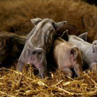 29103 Выбор породы свиней для разведения