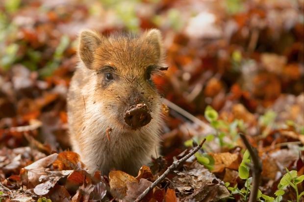 Выбор породы свиней для разведения фото - 18812