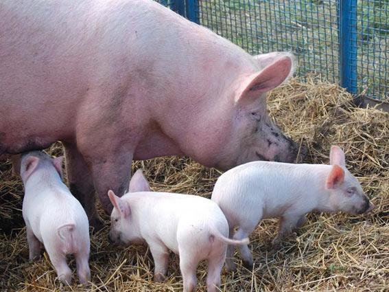 Перевозка свиней автотранспортом
