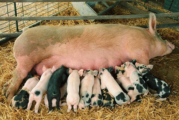 Премиксы для свиней и их применение