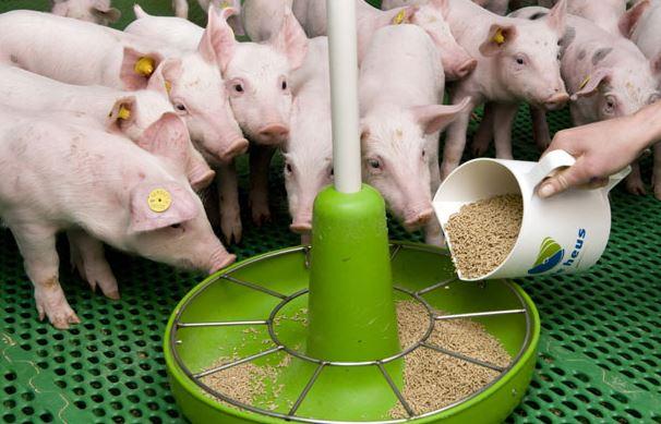 Премиксы для свиней и их применение фото - 19044