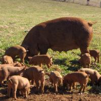 Популярные породы свиней: Дюрок фото - 19045 200x200