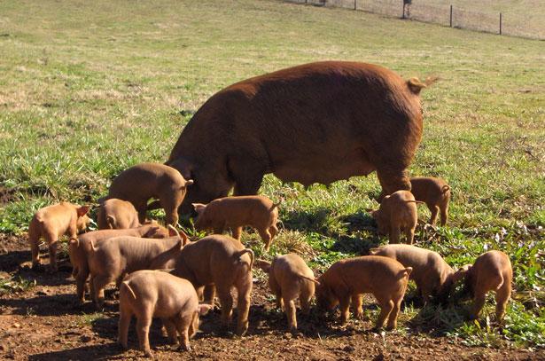 Популярные породы свиней: Дюрок