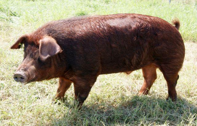 Популярные породы свиней: Дюрок фото - 19046