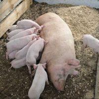 29132 Кормление и уход за свиноматками