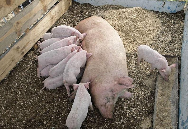 Кормление и уход за свиноматками