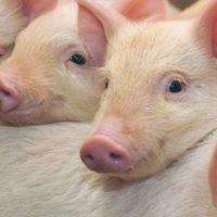 29135 Биология свиней: хозяйственные преимущества