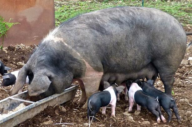 Биология свиней: хозяйственные преимущества