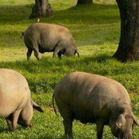 Убой свиньи фото - 19200 200x200