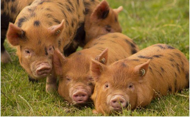 Убой свиньи фото - 19201