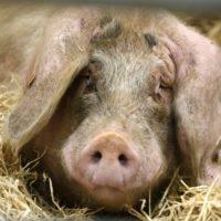 Заболевания свиней и их профилактика фото - 19402 200x200