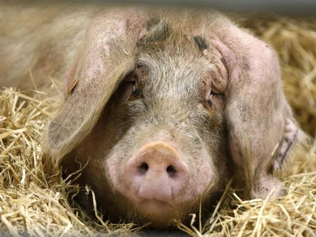 Заболевания свиней и их профилактика