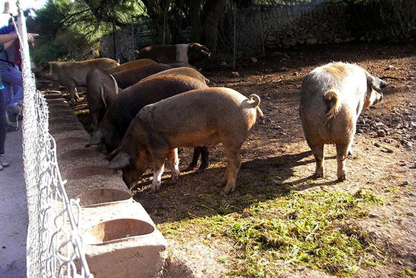Разведение свиней фото - 19407