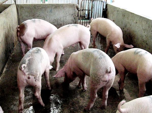 Разведение свиней фото - 19408