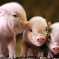 29153 Разведение свиней