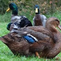 29216 Популярные породы уток: руанские утки