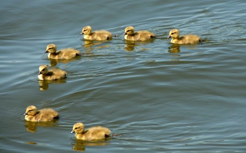 Содержание уток у естественных водоемов