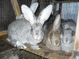 Разделывание и выделка шкур кролика в домашних условиях