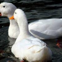 29238 Популярные породы уток: пекинские утки