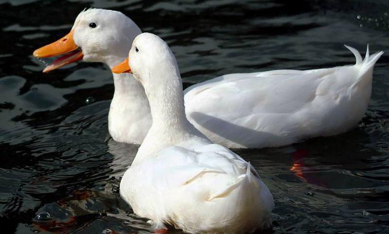 Популярные породы уток: пекинские утки