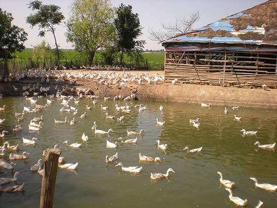Выращивание уток на водоемах