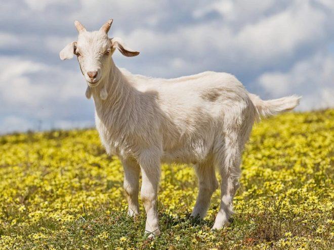 Породы коз и их продуктивность