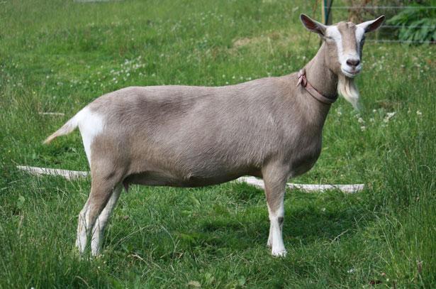Породы коз и их продуктивность фото - 21179