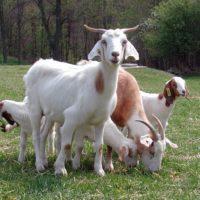 29356 Летнее содержание коз