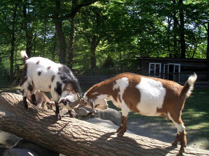 Летнее содержание коз фото - 21190