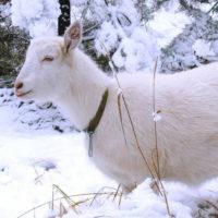 29364 Зимнее содержание коз