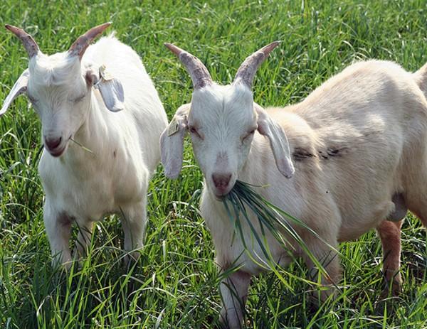 Случка коз и козление