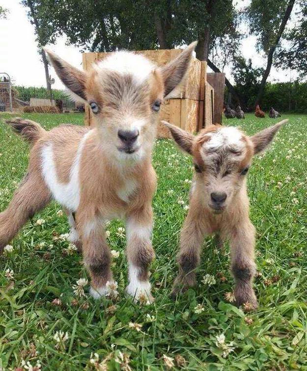 Выращивание козлят фото - 21367