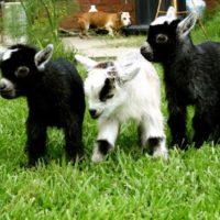 29382 Выращивание козлят
