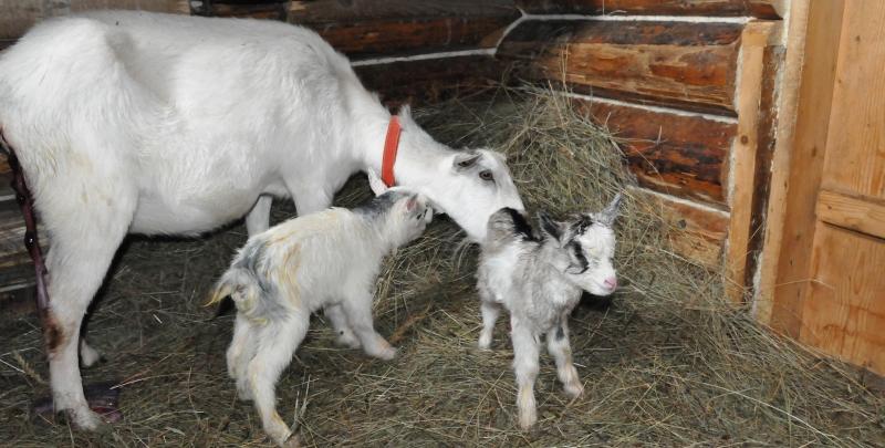 Выращивание козлят фото - 21370