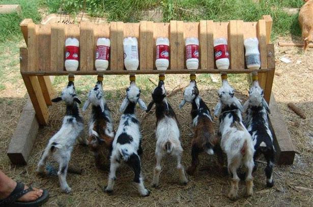 Выращивание козлят фото - 21371