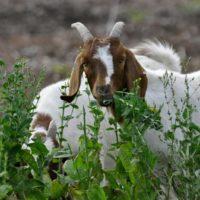 29386 Кормовые рационы коз