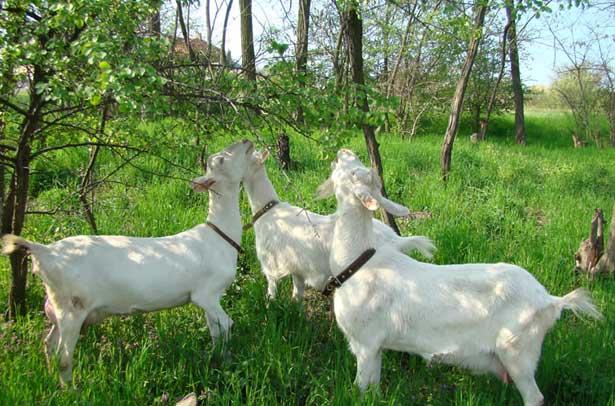 Кормовые рационы коз