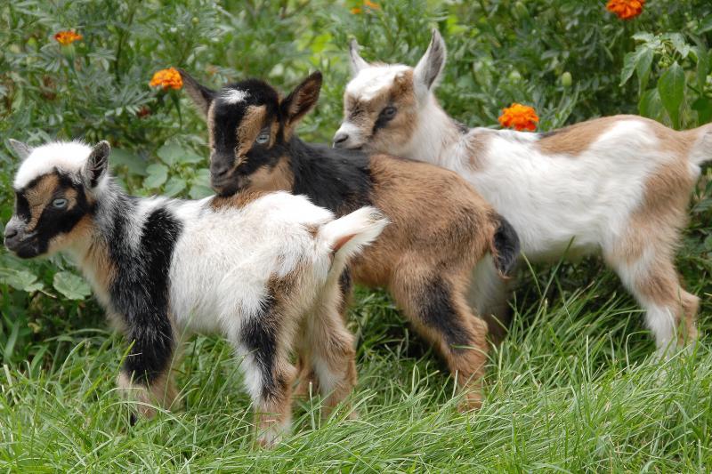 Болезни коз и методы лечения фото - 21626