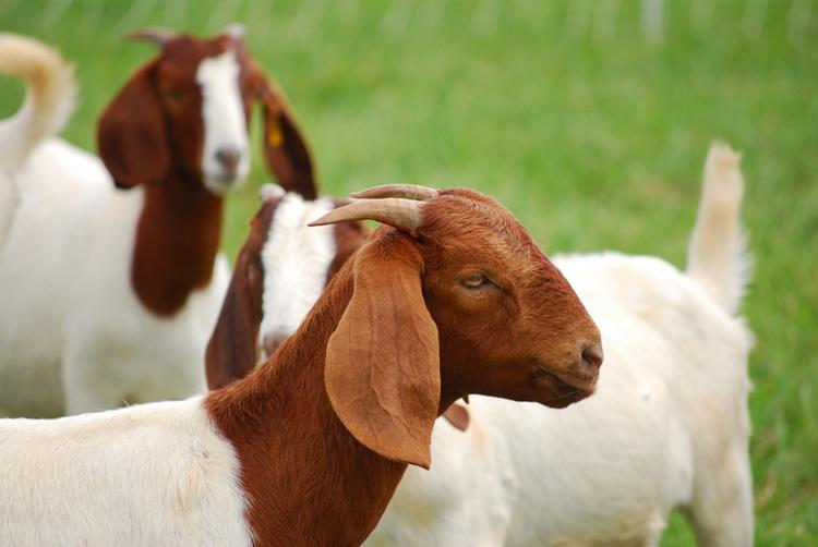 Болезни коз и методы лечения