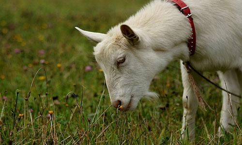 Болезни коз и методы лечения фото - 21628