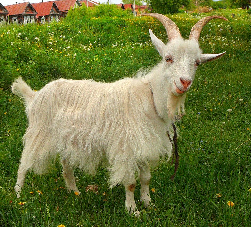 Болезни коз и методы лечения фото - 21629 1024x925