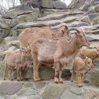 29430 Правила выращивания козлят