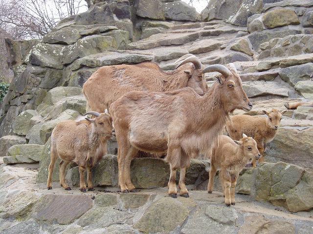 Правила выращивания козлят