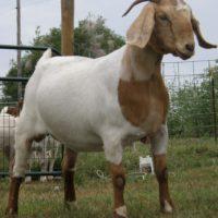 29435 Некоторые мясные породы коз